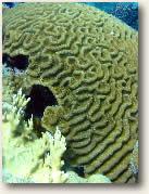 Brain Coral, St. John, USVI
