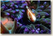fish hiding in sea anemone